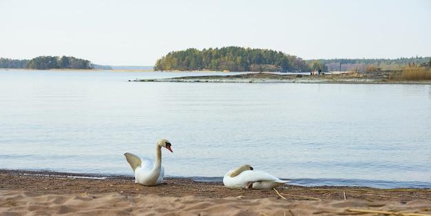 한 쌍의 백조가 발트해의 모래 사장에 휴식을 취하고 있습니다.