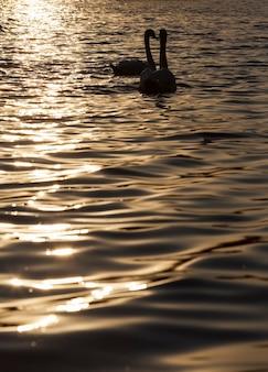 日没時に泳ぐ一組の白鳥、日没時の金色の光線で一年の春に二羽の白鳥、一組の白鳥と一緒に湖で春に