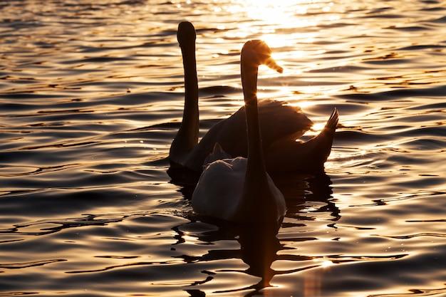 일출 때 수영하는 한 쌍의 백조, 일출 또는 일몰 동안 황금 광선으로 봄철에 두 마리의 백조, 백조 가족과 함께 호수에서 봄