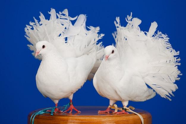 Пара белых голубей сидит на променаде, символ любви и чистоты.