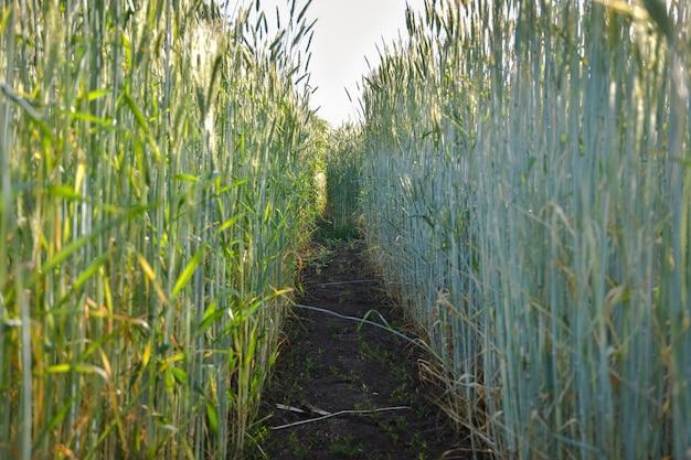 麦畑の小道農地の小道