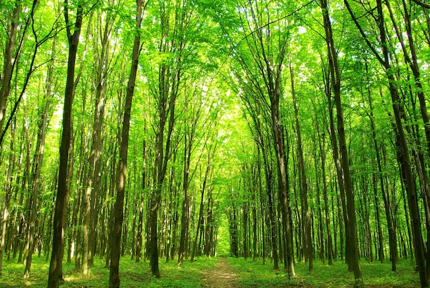 緑の森に小道があります