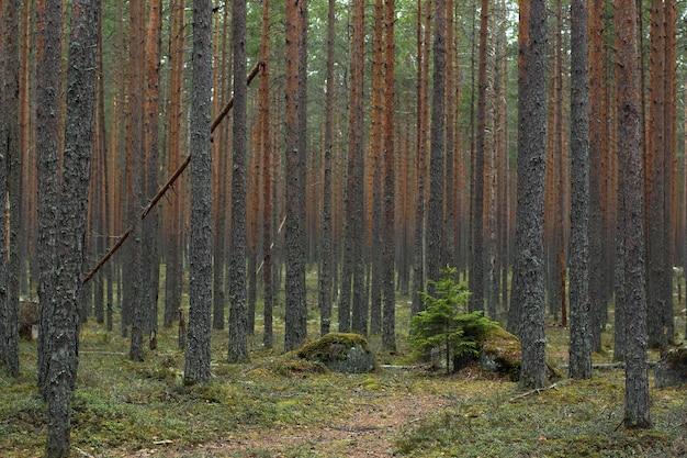 곧은 줄기가있는 소나무 숲을 통해 작은 크리스마스 트리로 이어지는 경로입니다.