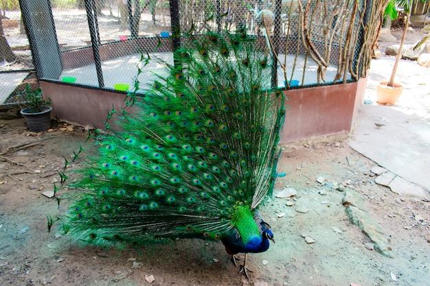 尾が緑色で体が青い孔雀が、尾を見せている檻の中を歩いています。