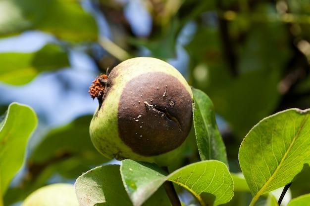 Груша гниет прямо на дереве