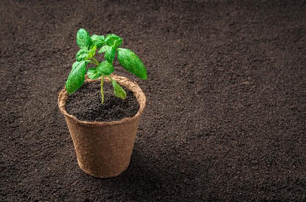 バジルの芽が付いた泥炭鉢が地面に立っています。コピースペースのある側面図。