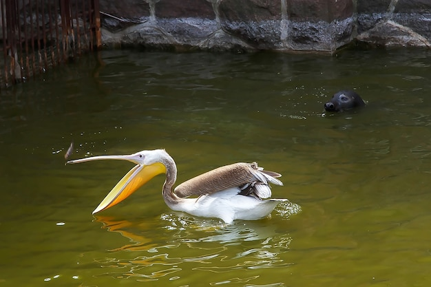 펠리컨이 물고기를 잡고 바다 고양이가 그를 지켜보고 있습니다. 클라이 페다 리투아니아어.