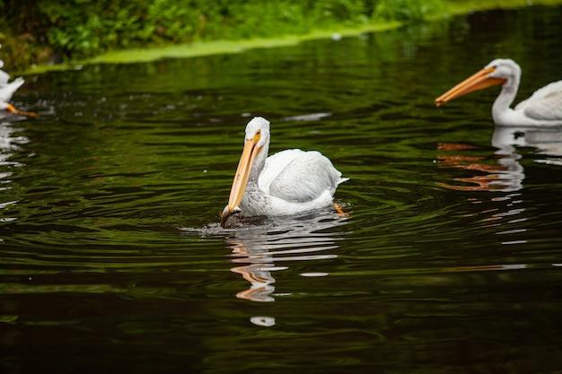 Пеликан пытается поймать рыбу в пруду.