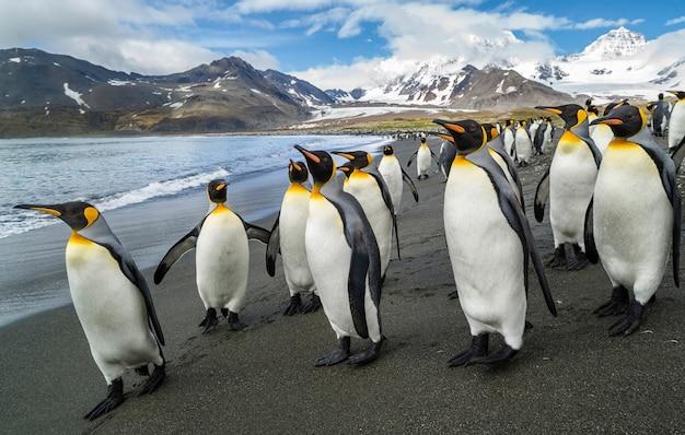 Колония пингвинов в антарктиде, красивые пингвины уходят в воду