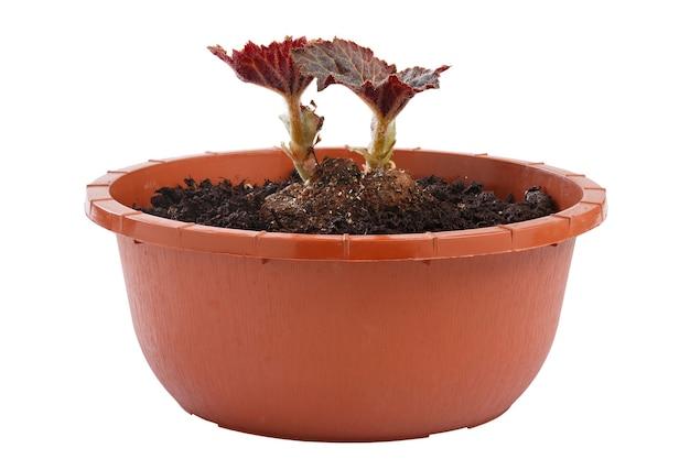 Многолетнее растение бегония в цветочном горшке на белом фоне