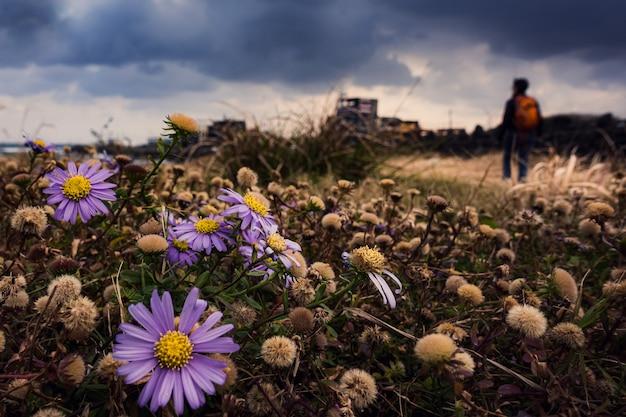 韓国で咲くカリメリスの花の中をハイキングする人