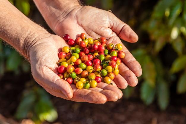 木の上にコーヒー豆を持っている人の手。