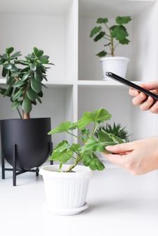 Человек со смартфоном фотографирует домашнее растение