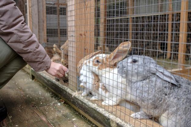 동물원 방문객이 케이지 그물을 통해 토끼에게 당근을 먹이고 있습니다. 동물과 사람의 긴밀한 의사 소통.