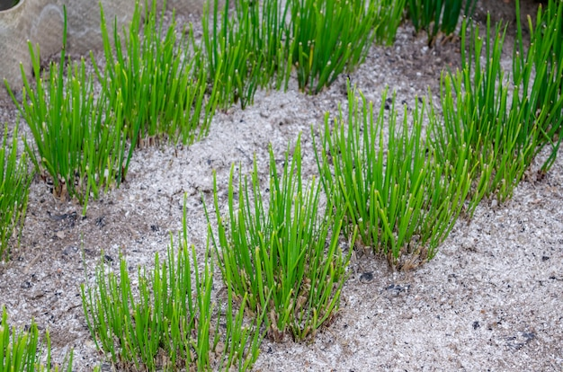Крупным планом фото зарослей молодого весеннего чеснока на грядке в саду.