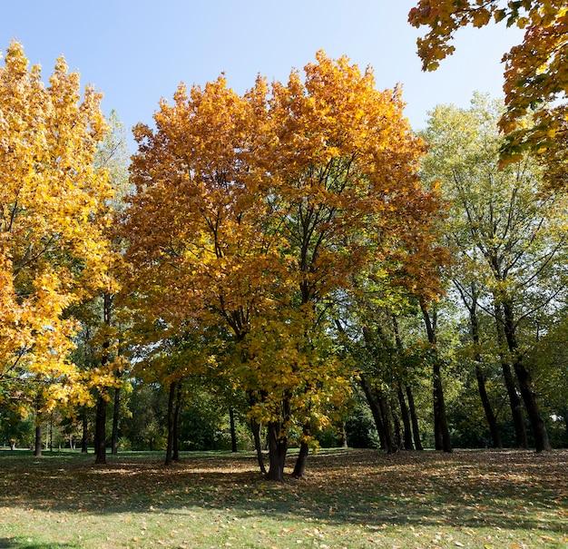 Сфотографированный клен в осенний сезон. на ветвях пожелтевшая и желтая листва.