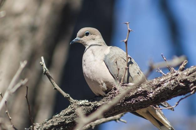 Голубь сидит на ветке в своей естественной среде обитания в южной америке.