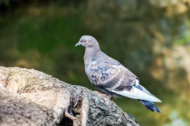 Голубь сидит на корне дерева и смотрит на воду