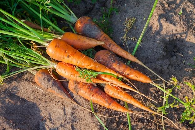 정원에 있는 신선하게 익은 오렌지 당근 더미, 생태학적으로 건강한 채식주의 음식
