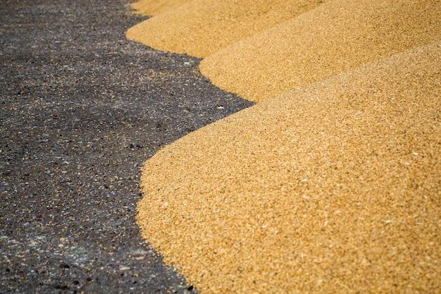 小麦粒の山がアスファルトエリアにあり、穀物は播種の準備ができています