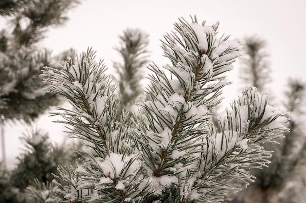 Ветка сосны, покрытая снежинками