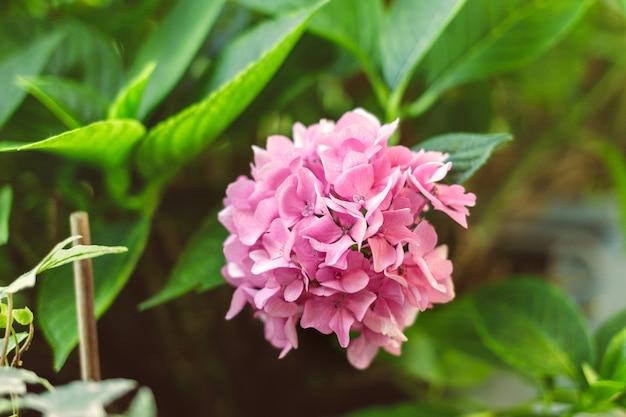 甘いぼかしのあるピンクのアジサイの花