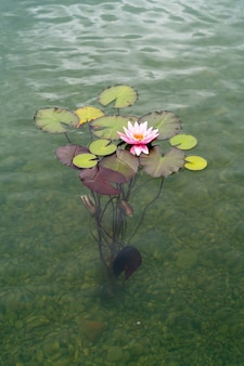 Розовый цветок лотоса или водяная лилия растет со дна пруда в чистой воде.