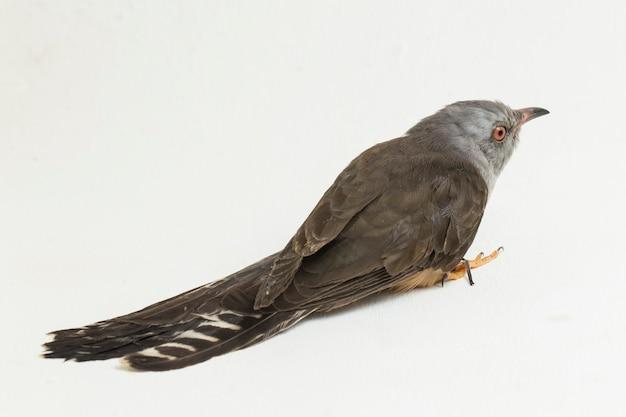 白い背景に分離されたヒメカッコウ鳥cacomantismerulinus