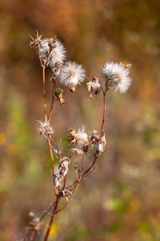 Растение, похожее на множество одуванчиков на одном стебле с выборочной фокусировкой и размытым фоном.