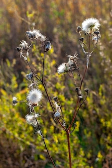 Растение, похожее на множество одуванчиков на одном стебле с избирательным акцентом и травой на размытом фоне.