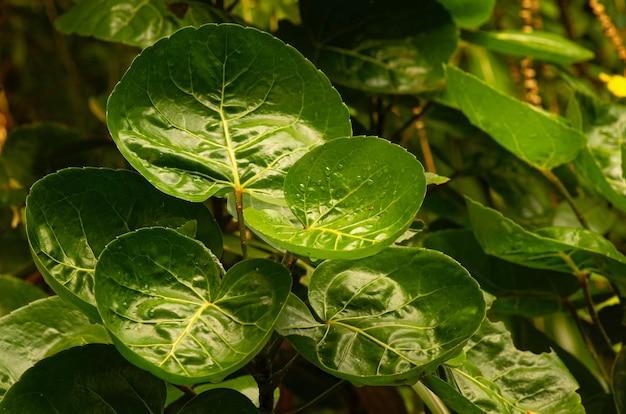 Лист сливы аралии (polyscias scutellaria), популярного садового декоративного и лекарственного растения в индонезии.