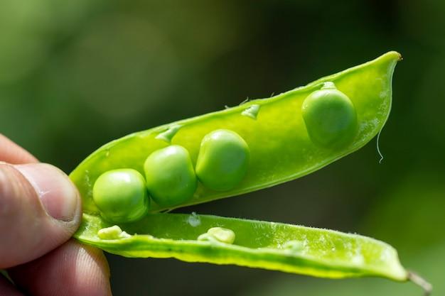 Стручок молодого зеленого горошка в руках фермера.