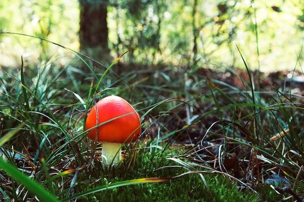 Ядовитый гриб в красной шляпке в траве в осеннем лесу. грибы мухомора в лесу.