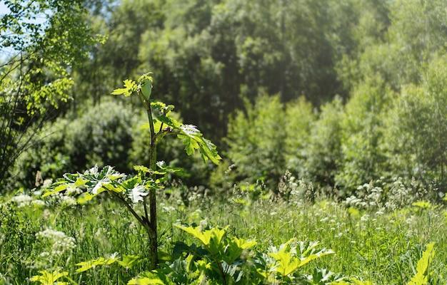 森の近くで有毒植物ボルシチが育ちました