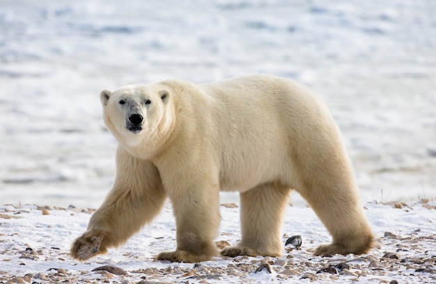 Белый медведь в тундре.