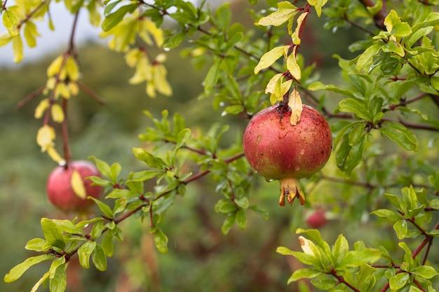 빗속에서 나뭇가지에 달린 석류