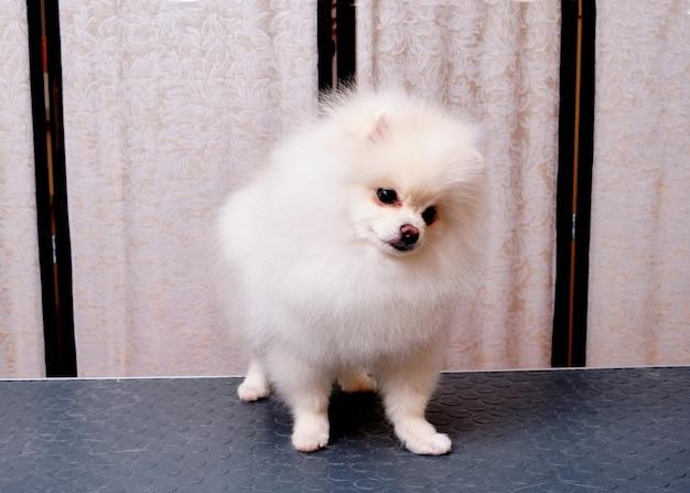 Поморская собака стоит на столе в салоне для животных.