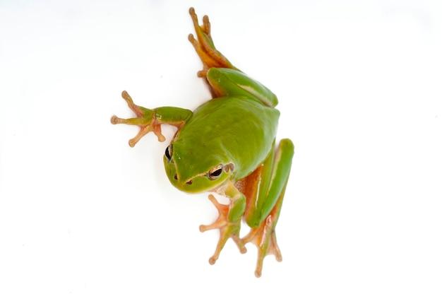 Портрет зеленой лягушки. отдельный на белом фоне
