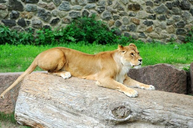 草の上でリラックスした雌ライオンの肖像画