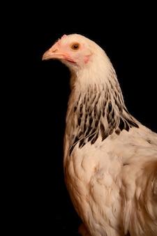 쇼 치킨의 초상화는 검은 배경에 고립