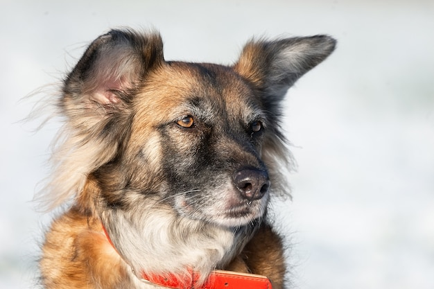 Портрет большой беспородной бродячей собаки овчарка тарас в стороне на зимнем белом фоне