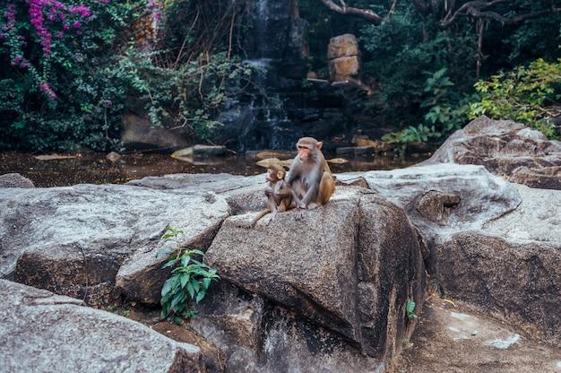 Портрет обезьяны макаки резуса с ее милым ребенком младенца в тропической природе forest park хайнаня, китая. сцена дикой природы с животным опасности. макака мулатка.