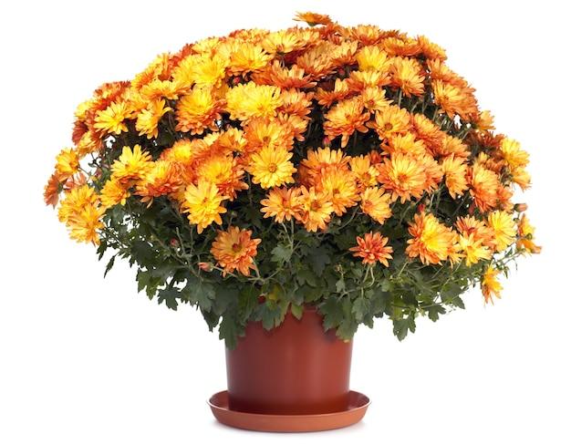 흰색에 고립 된 아름 다운 오렌지 가을 국화의 냄비