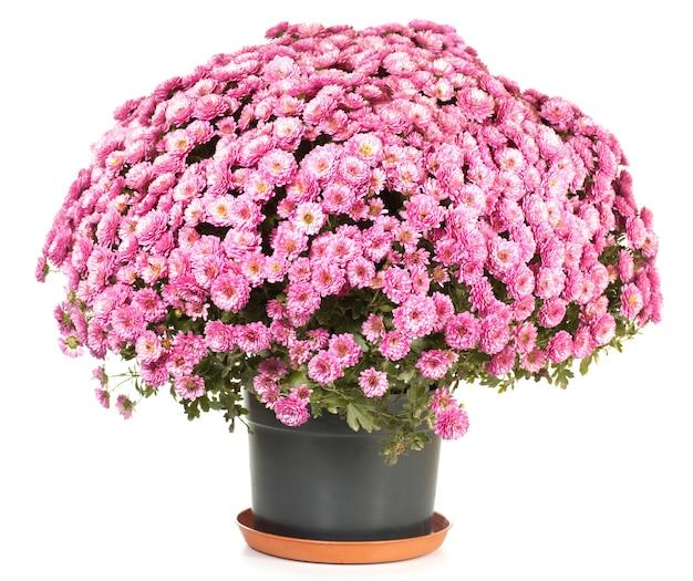 흰색에 고립 된 아름 다운 분홍색 가을 국화의 냄비