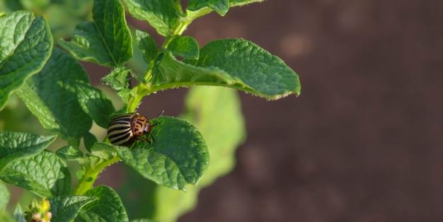 ジャガイモの葉のクローズアップ上のジャガイモビートルシット昆虫によるジャガイモ作物の破壊の概念