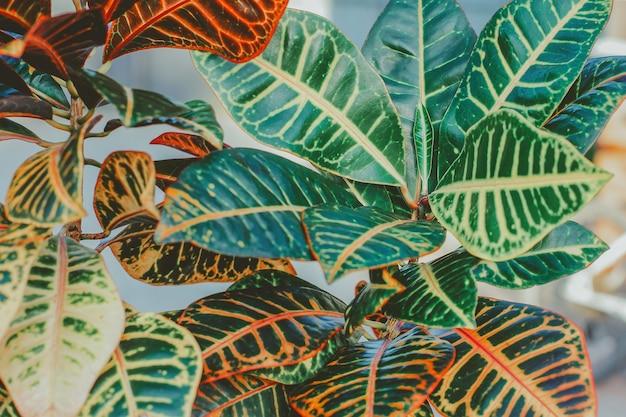 鉢植えのクロトンの花。贈り物、趣味、ライフスタイルとしての美しい観葉植物の概念