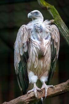 Гордый стервятник стоит на ветке и смотрит. большие когти на лапах. перья коричневые, белые и черные. грудь ощипывается. фон размытый. вертикальный.