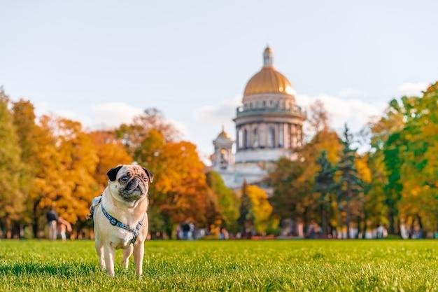 パグがサンクトペテルブルクを旅し、犬が聖イサアク大聖堂の上に立っています