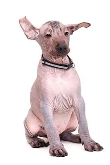 裸のメキシコの犬の品種の子犬。白い背景に分離