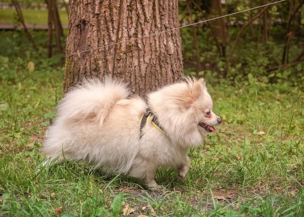 純血種のベージュのポメラニアンがひもを木の周りに巻き付けました